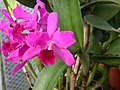 A and B Larsen orchids - Brassolaeliocattleya Normans Bay Lows 2332.jpg