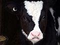 A calf's head.jpg