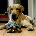 A dog Labrador with Red-Footed Tortoise.jpg