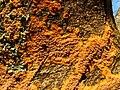 A fungus - Phlebia radiata - geograph.org.uk - 987826.jpg