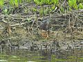 A green heron on the Wildlife Loop at Chincoteague National Wildlife Refuge. (5279856227).jpg