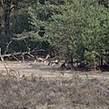A group of female Fallow DeerDamherten) resting at Deelerwoud 17 March 2012 - panoramio.jpg