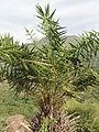 A local date tree.JPG