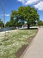 A sapling and a tree along a path (33659948764).jpg