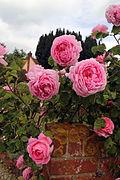 A wall with pink rose, Fox Road, Mashbury, Essex, England 02.JPG