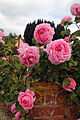 A wall with pink rose, Fox Road, Mashbury, Essex, England 02.JPG