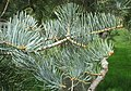 Abies concolor 'Violacea', Arnold Arboretum - IMG 6135.JPG