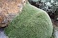 Abromeitiella brevifolia 1zz.jpg