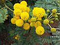 Acacia karroo03.jpg