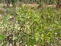 Acacia penninervis 2.jpg