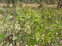 Acacia penninervis 2