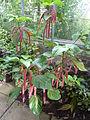 Acalypha hispida (Euphorbiaceae) plant.JPG