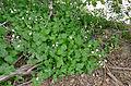 Acanthaceae (Rhinacanthus gracilis) (17163743800).jpg