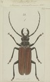 Acanthophorus - Print - Iconographia Zoologica - Special Collections University of Amsterdam - UBAINV0274 032 04 0012.tif