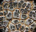 Acarospora strigata - Flickr - pellaea (9).jpg