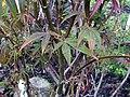 Acer palmatum Red Spider 2zz.jpg