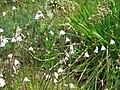 Acis autumnalis flowers & fruits.jpg