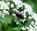 Acmaeops species. (A. collaris?) Cerambycidae (16092605579).jpg