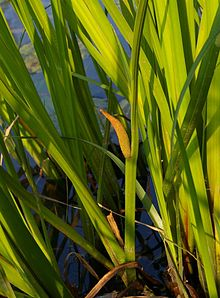 Calamus (poem) - Wikipedia, the free encyclopedia