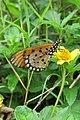 Acraea violae - Tawny Coster at Peravoor (4).jpg
