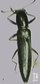 AcropteroxysGracilis488.png