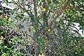 Adenocarpus telonensis 3.jpg