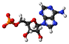 Adenosine-monophosphate-anion-3D-balls.png