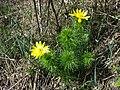 Adonis vernalis sl55.jpg