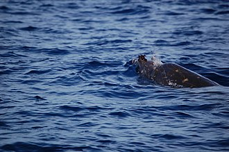 Blainville's beaked whale - Image: Adult Male Blainville's Beaked Whale