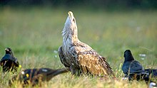 Adult White-tailed Eagle defending prey, Rezerwat Gostynin-Wloclawek, Poland.jpg