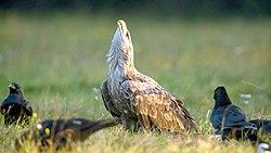 Adult White-tailed Eagle defending prey, Rezerwat Gostynin-Wloclawek, Poland.jpg