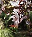 Aeschynanthus lobbianus Fata Morgana Greenhouse 8b.jpg