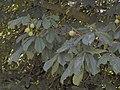 Aesculus hippocastanum12.JPEG