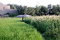 Afghan crops.jpg