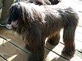 Afghan hound (6780243276).jpg