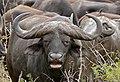 African Buffalo (Syncerus caffer) (31434421623).jpg