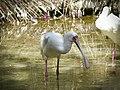 African Spoonbill - Platalea alba - Afrikanischer Löffler - 02.jpg