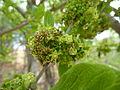 Afrocanthium gilfillanii, bloeiwyses, Schanskop.jpg