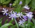Agapanthus africanus Flowers.JPG
