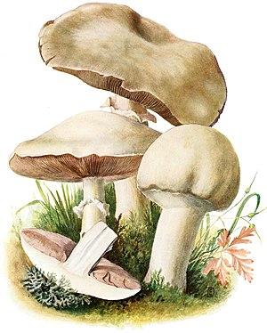 Agaricus-arvensis