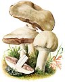 Agaricus-arvensis-gramberg-1913-pilzederheimatei00gram 0121.jpg