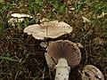 Agaricus sp. (50198238493).jpg