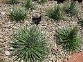 Agave Geminiflora Plant.jpg