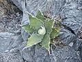 Agave species (5740790388).jpg
