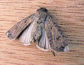 Agrotis ipsilon Grote worteluil vleugels (1).jpg