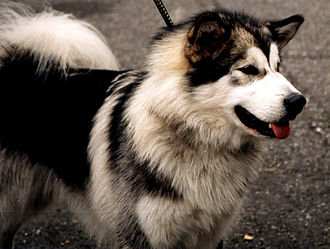 Alaskan Malamute - Alaskan Malamute with dark saddle