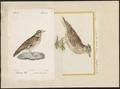 Alauda arborea - 1700-1880 - Print - Iconographia Zoologica - Special Collections University of Amsterdam - UBA01 IZ16100323.tif