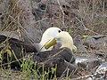 Albatross birds - Espanola - Hood - Galapagos Islands - Ecuador (4871612586).jpg