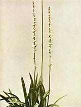 Aletris farinosa WFNY-016.jpg