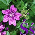 Alfabet roślin - literka Ś.jpg